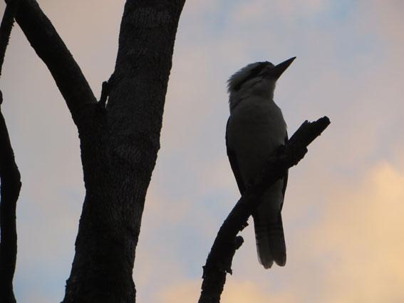 kookaburraweb
