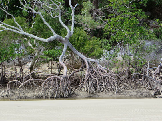 mangroveweb